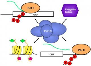 Figure 1.  The multifunctional Paf1 complex associates with RNA pol II, promotes histone modifications coupled to active transcription, interacts with other transcription and chromatin factors, and regulates RNA 3'-end formation.