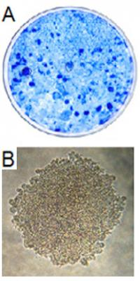 Figure 1. Transformation potential of TAg on an established rodent cell line, REF52. A) Dense focus assay. B) Anchorage-independent assay.