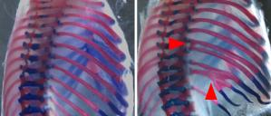 Figure 1. Errors in somite formation lead to fusions of the ribs (arrows)