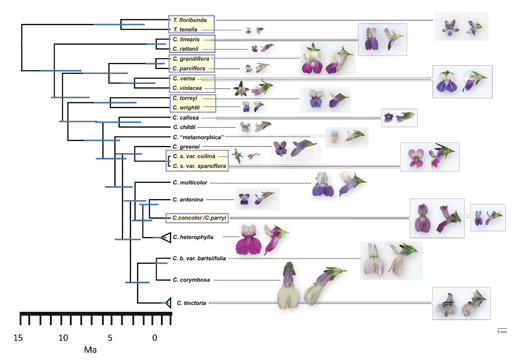 Fig.1  Phylogeny of Collinsia and Tonella shows repeated small flower, selfing/large flower, outcrossing sister pairs.