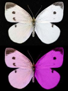 Figure 2.  A Pieris rapae bilateral gynandromorph, with typical female coloration on the left and male coloration on the right, as viewed by humans (above), and as viewed by these butterflies and their avian predators (below)