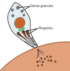 Fig 1: Toxoplasma secretion is mediated by unique secretory organelles such as the rhoptries and dense granules