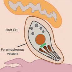 Fig 2: After invasion Toxoplasma takes up residence within the parasitophorous vacuole