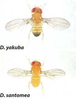 Figure 1. The light pigmentation of D. santomea has recently evolved from the dark coloration typical of its close relatives